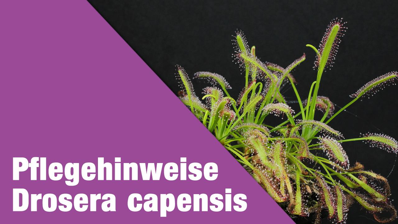 Pflegehinweise Drosera capensis