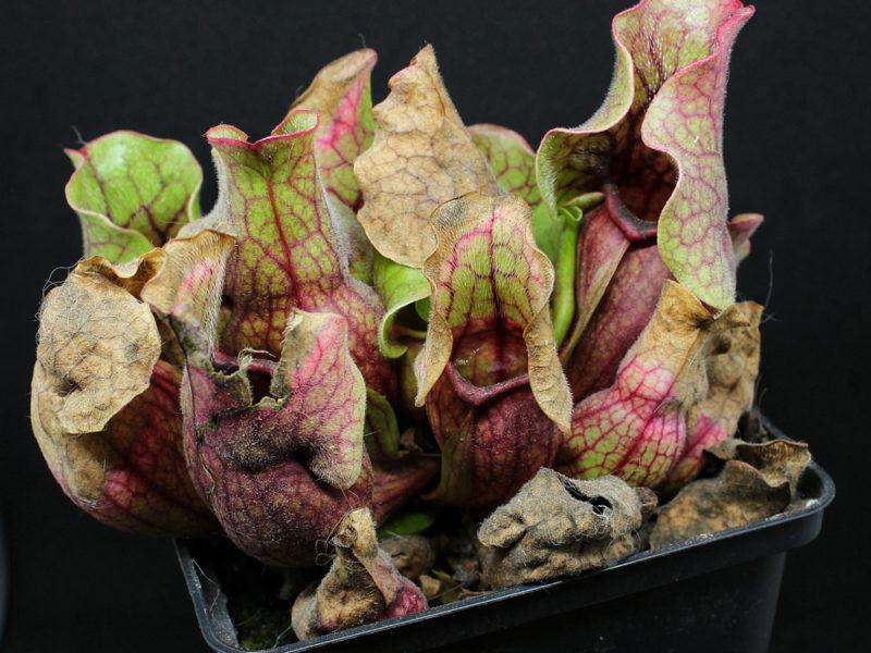 Pflegehinweise Sarracenia purpurea