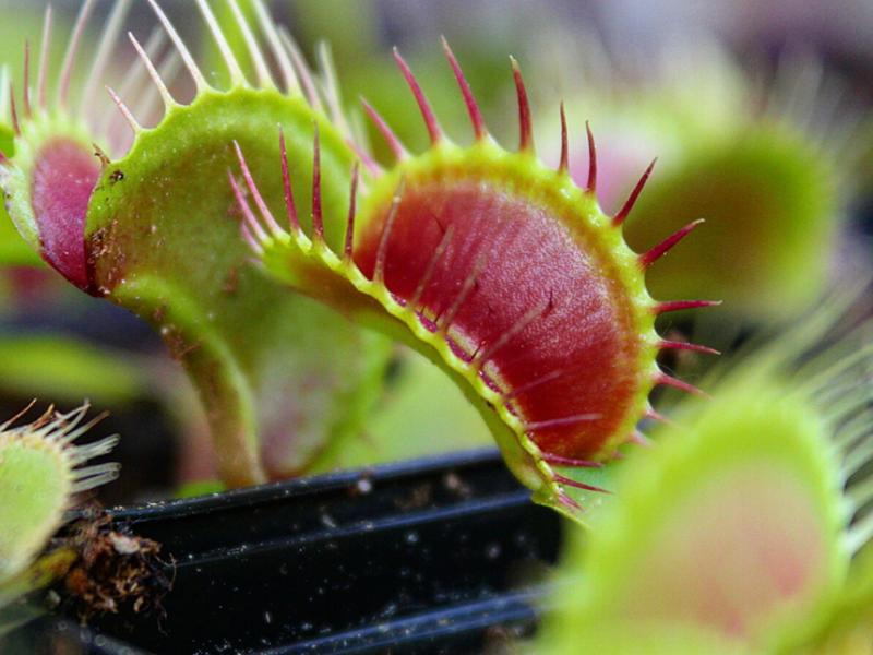 Dionaea muscipula 'typical – Größe M