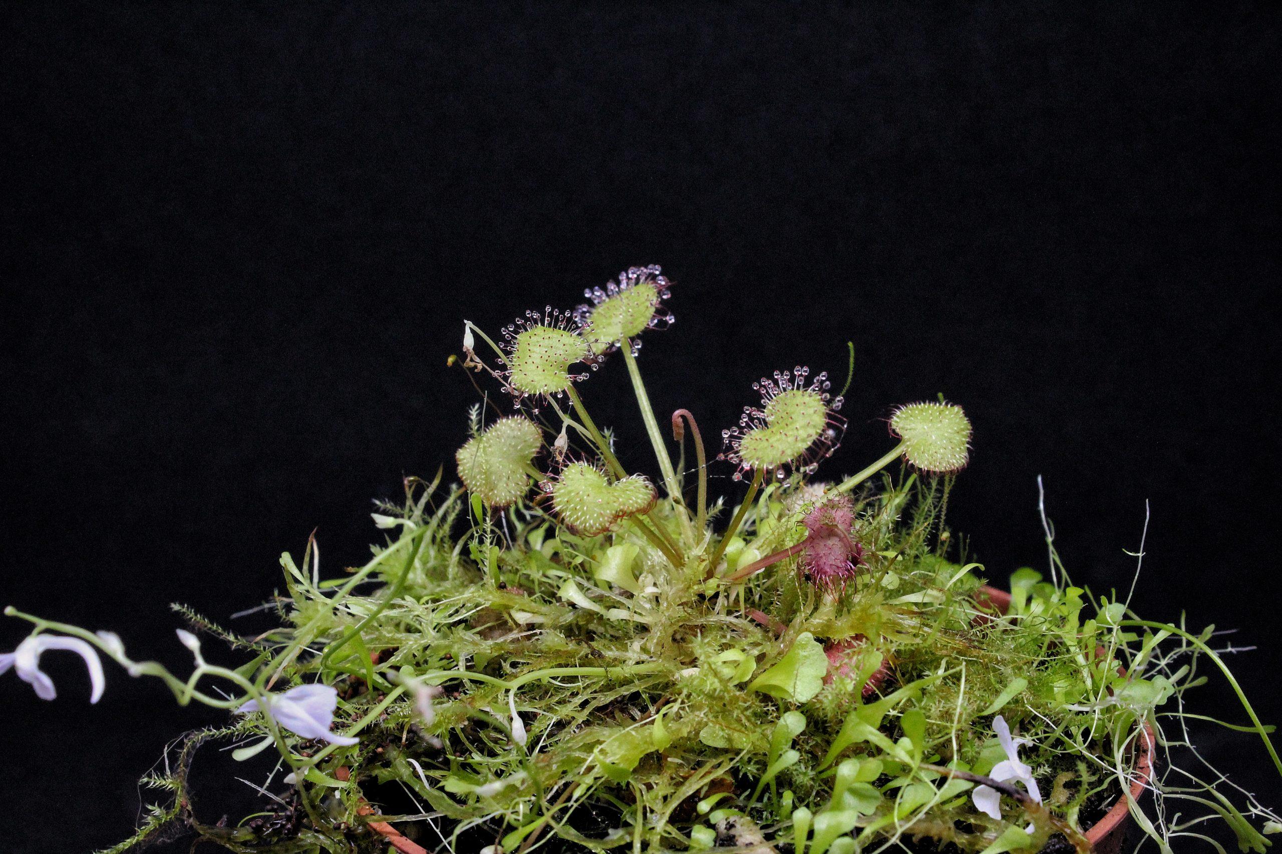 Pflegehinweise Drosera prolifera