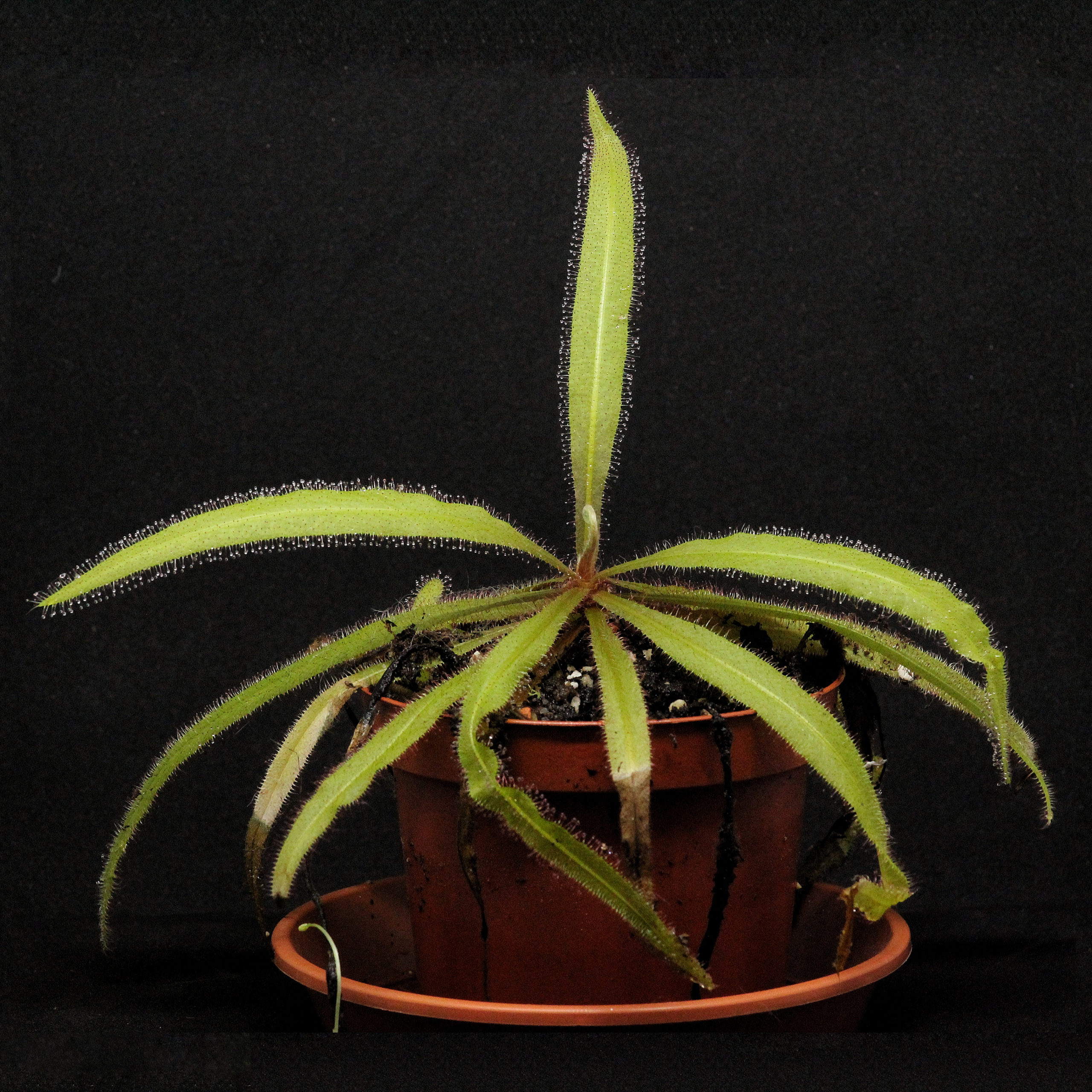 Pflegehinweise Drosera adelae