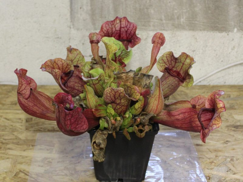 Umtopfen Sarracenia purpurea ssp. venosa