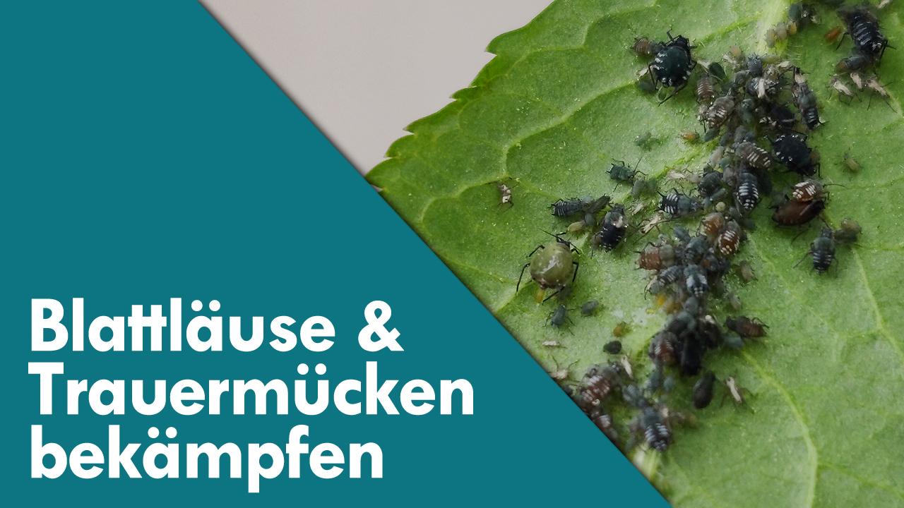 Blattläuse und Trauermücken bei Karnivoren