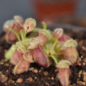 Cephalotus Substrat Erde