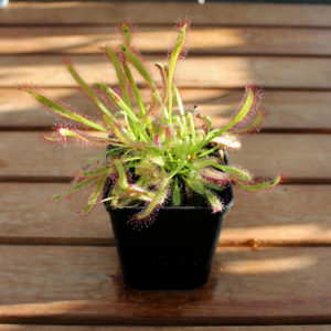 Drosera capensis large