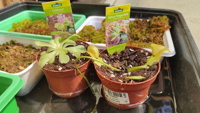 Fleischfressende Pflanzen bei schlechter Pflege