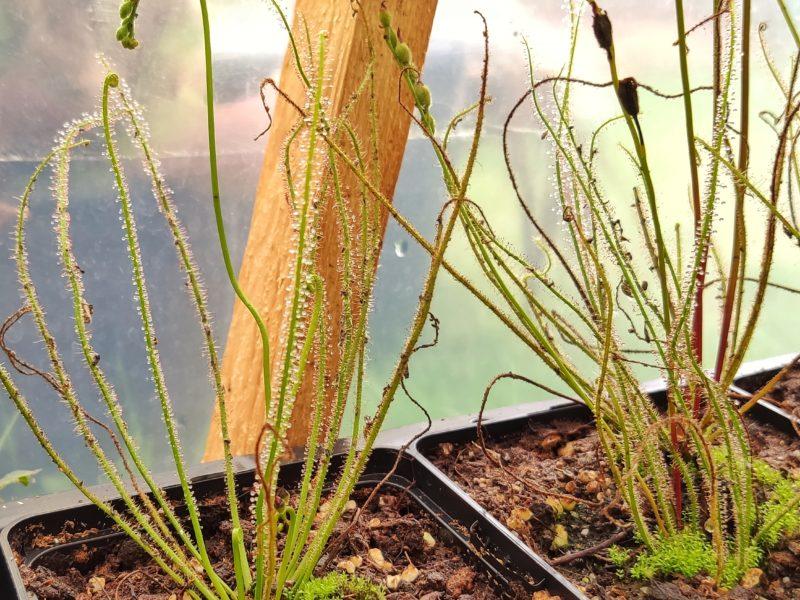 50 Samen D. filiformis ssp. filiformis