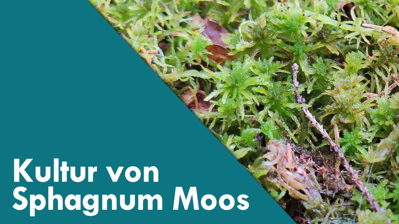 Die erfolgreiche Kultur von Sphagnum Moos