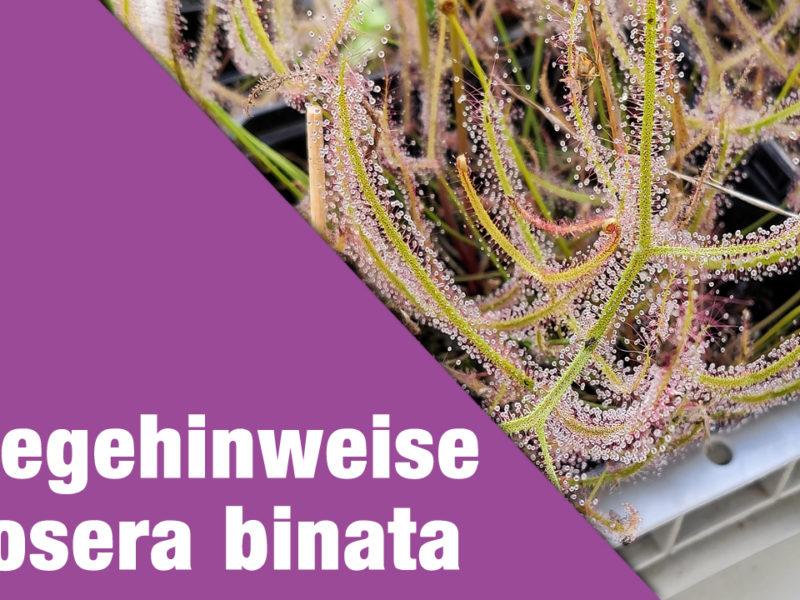 Pflegehinweise Drosera binata