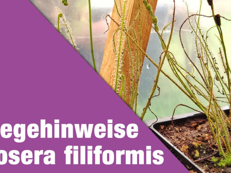 Pflegehinweise Drosera filiformis