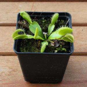 Dionaea muscipula heterophylla
