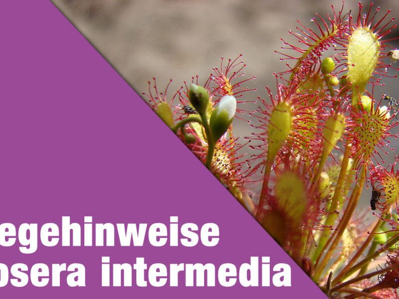 Pflegehinweise Drosera intermedia