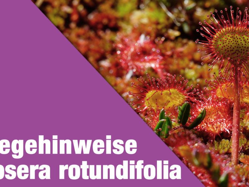 Pflegehinweise Drosera rotundifolia