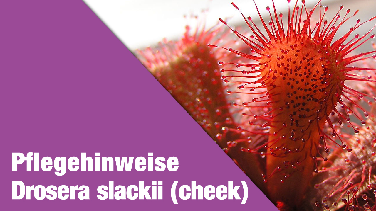 Pflegehinweise Drosera slackii (cheek)