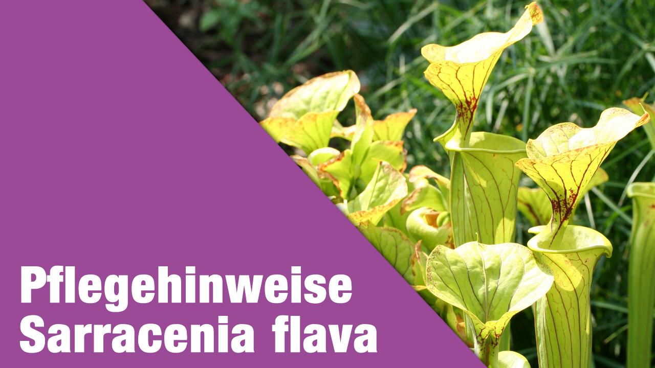 Pflegehinweise Sarracenia flava var. flava