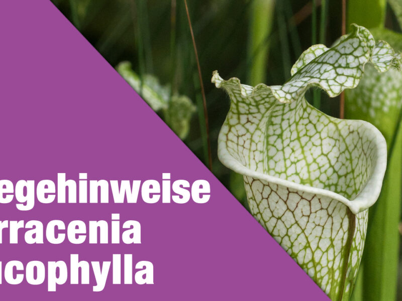 Pflegehinweise Sarracenia leucophylla