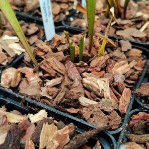 Pinienrinde fleischfressende Pflanze