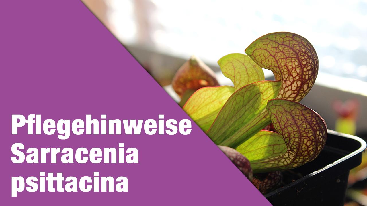 Pflegehinweise Sarracenia psittacina