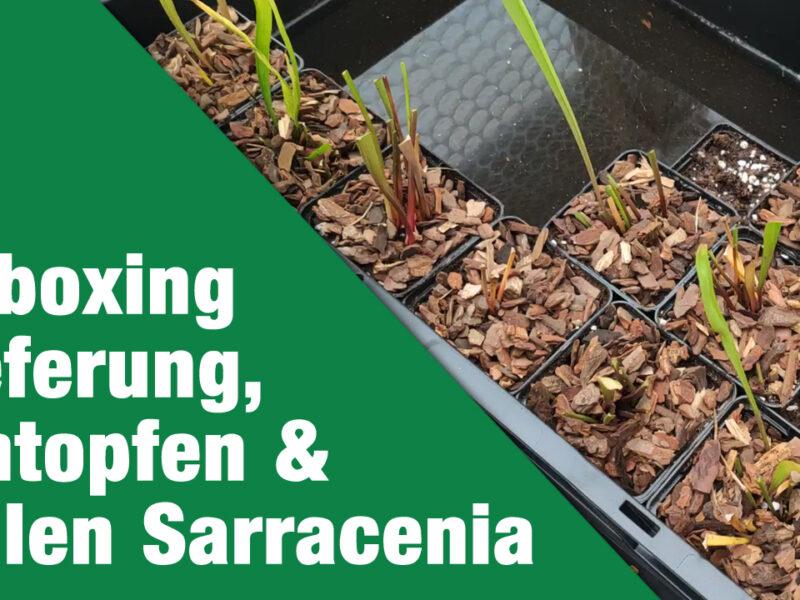 Unboxing Lieferung, Umtopfen & Teilen Sarracenia