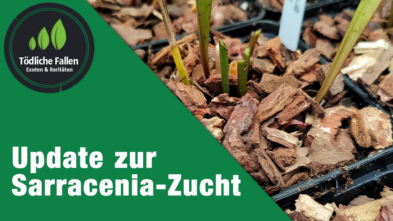 Update zur Sarracenia-Zucht