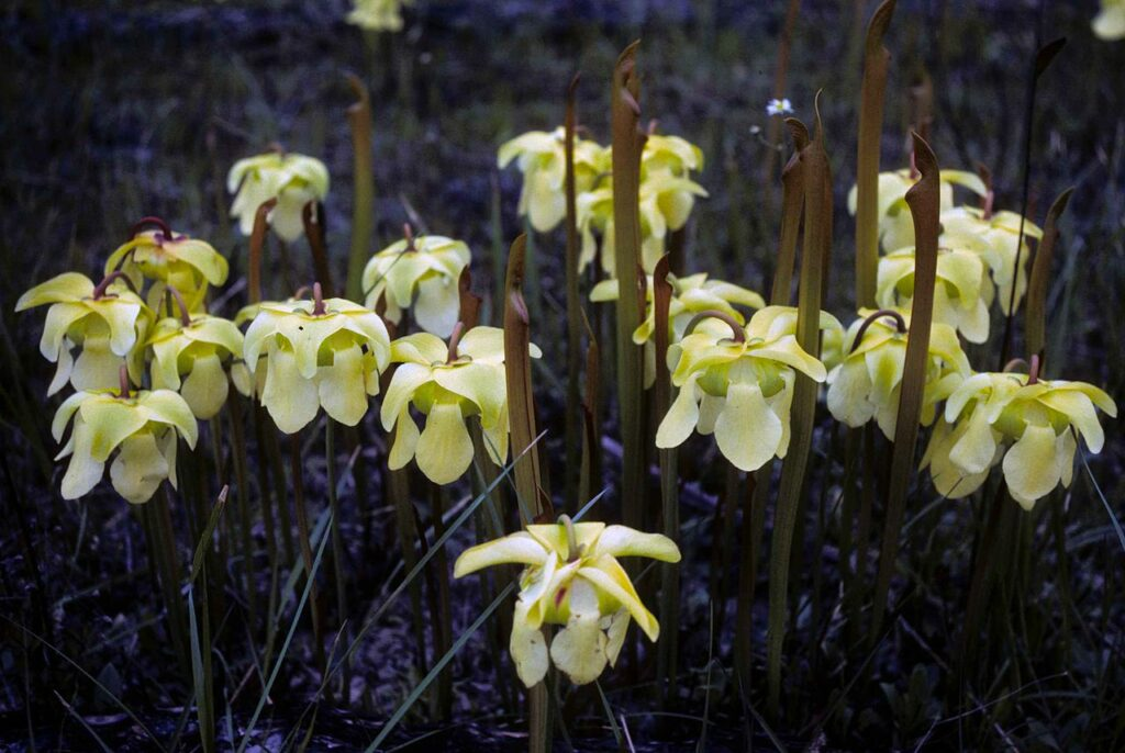 Blühende Sarracenia alata