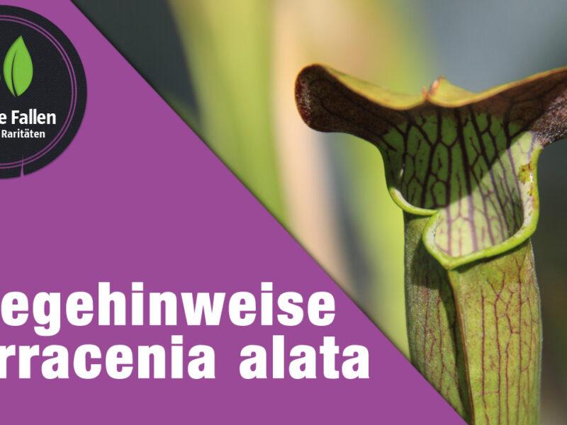 Pflegehinweise Sarracenia alata