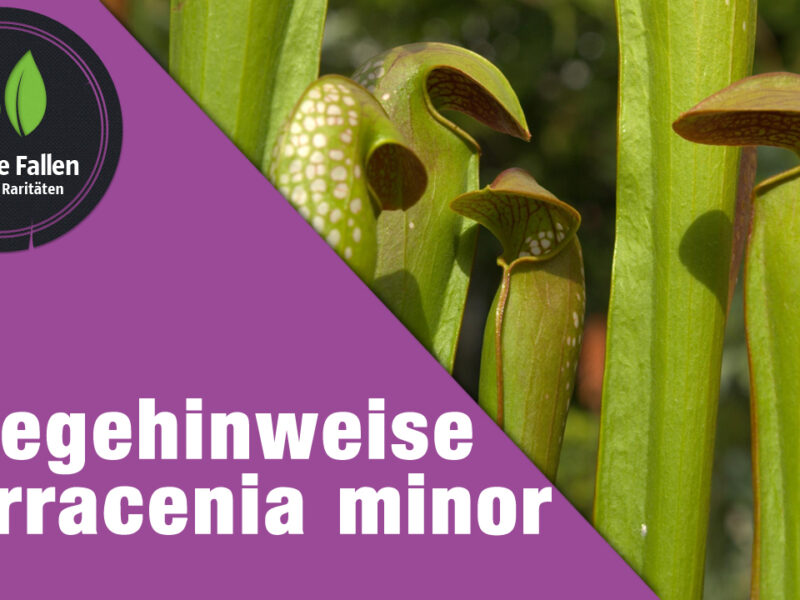 Pflegehinweise Sarracenia minor
