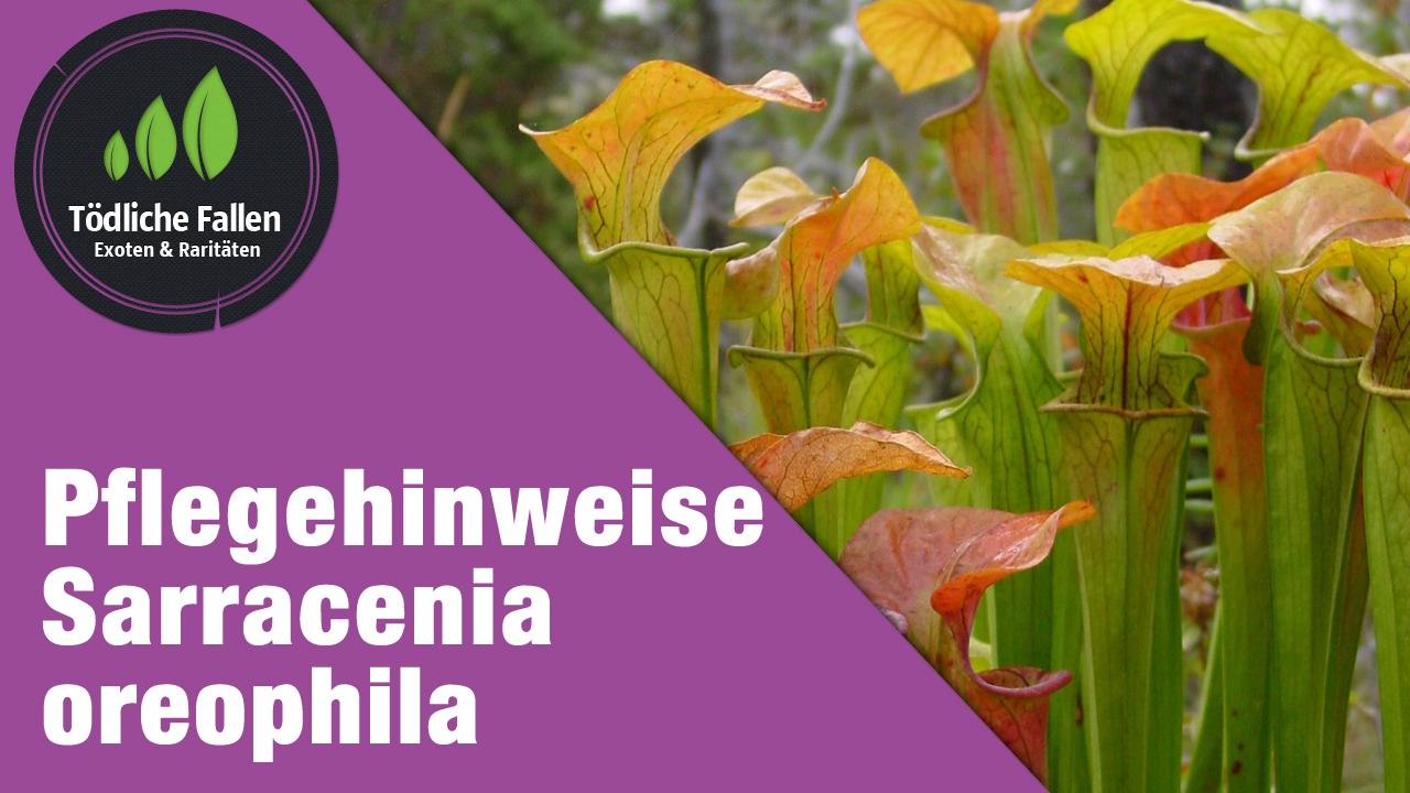 Pflegehinweise Sarracenia oreophila
