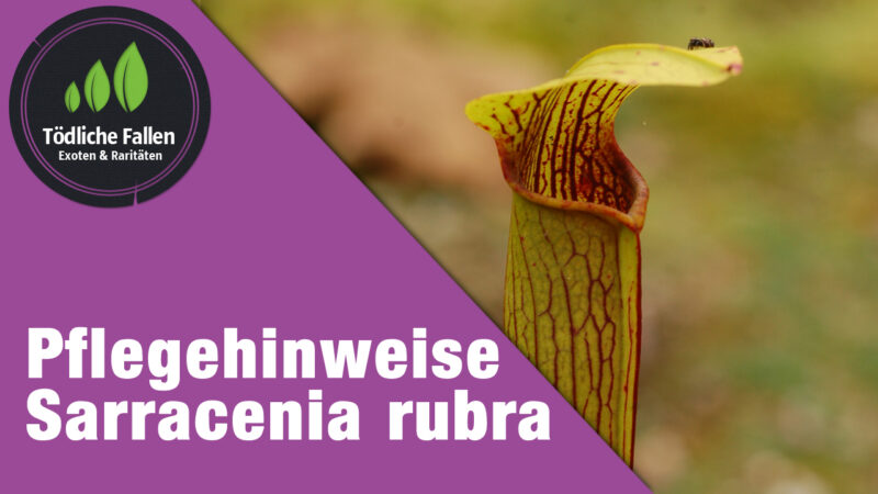 Pflegehinweise Sarracenia rubra