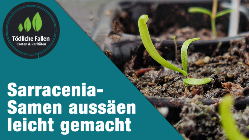 Sarracenia-Samen aussäen leicht gemacht