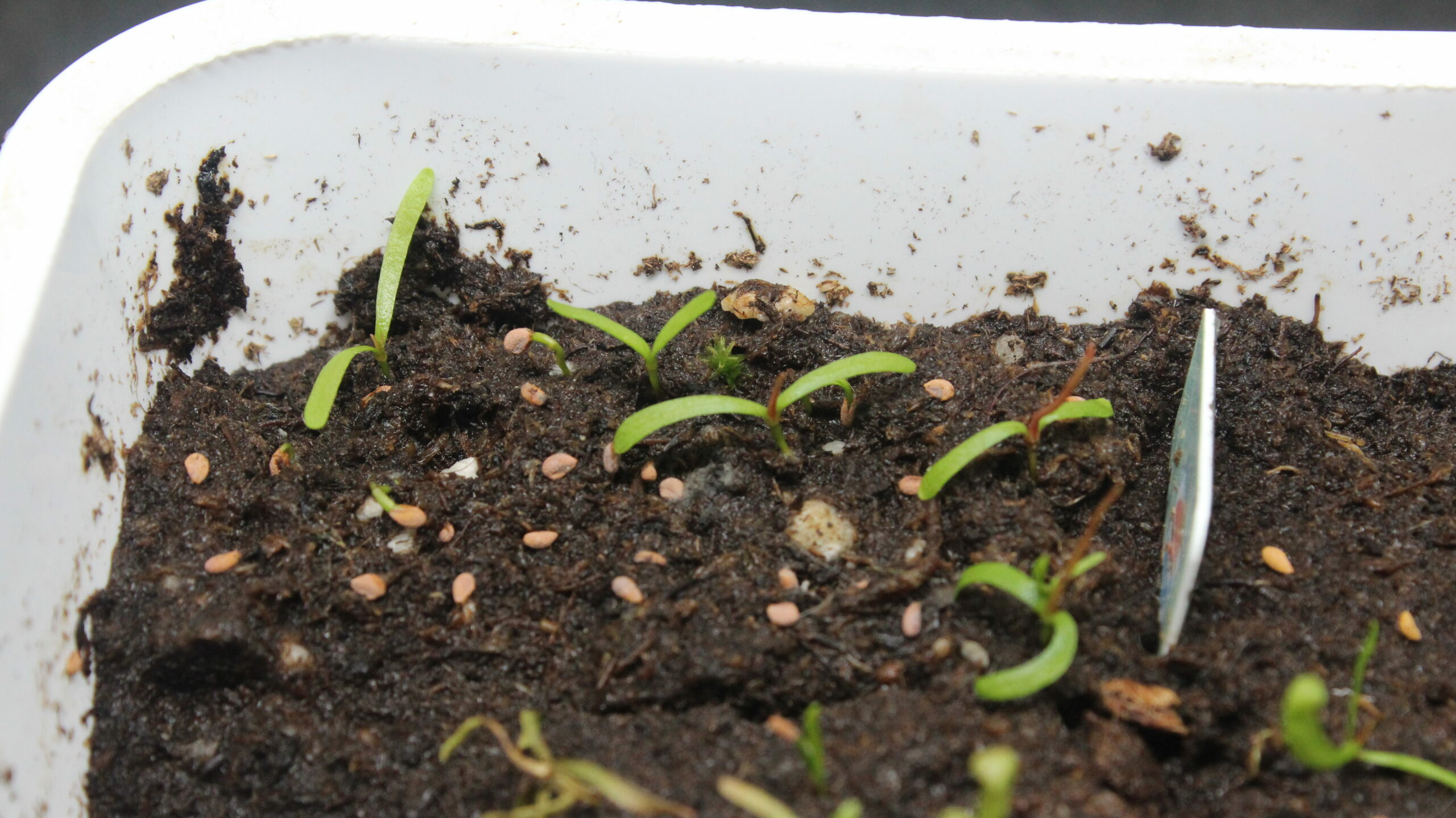 Sarracenia flava var. atropurpurea Keimlinge