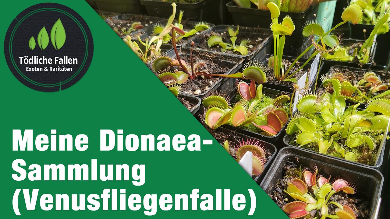 Meine bescheidene Dionaea-Sammlung